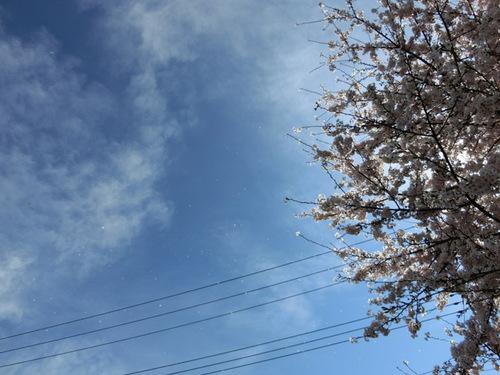 20150403散る桜.jpg